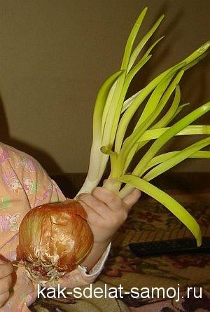 как прорастить лук