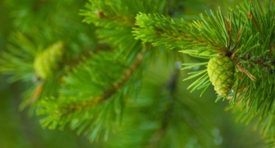 Зеленая сосна
