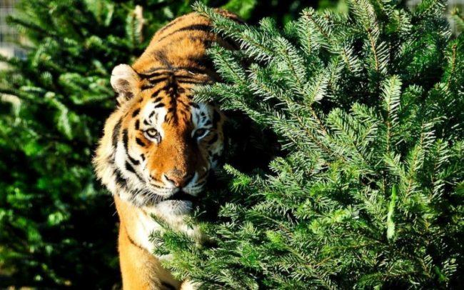 год Тигра